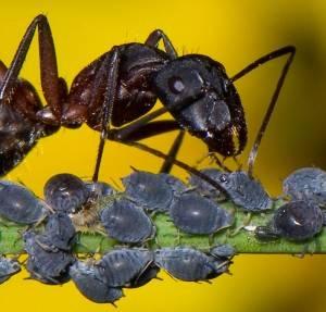 hormigas-y-pulgones-colaborando