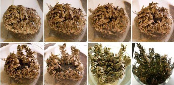 la-sorprendente-planta-resurreccion-o-conocida-como-rosa-de-jerico1